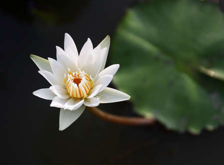 lilia: Beautiful white lotus in the pond  Stock Photo