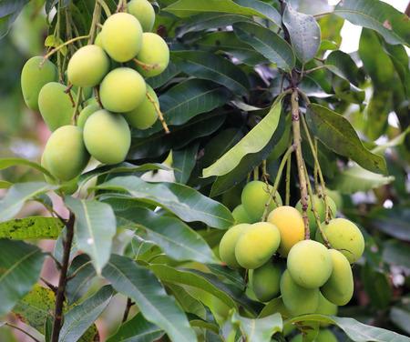 Fresh green mangoes  photo