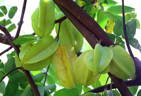 sour clover: Green and yellow star apple fruit carambola on the tree