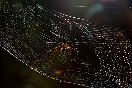 wood spider: Golden wood Spider (Nephila pilipes) with food on webs Stock Photo
