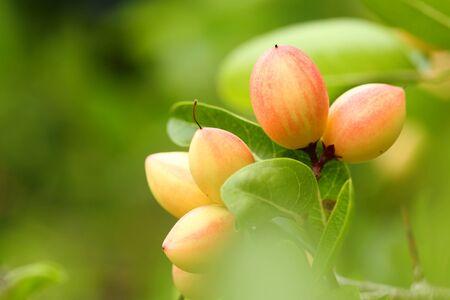 Carissa 's pink fruit (Carissa carandas)