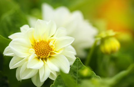 White flower in the garden 写真素材