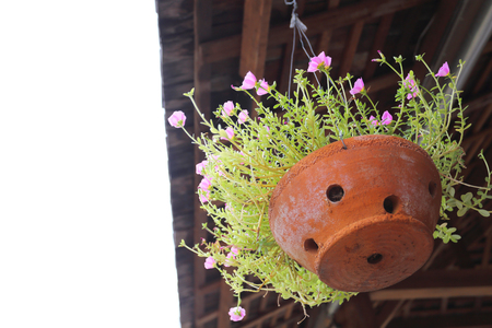 little pink flower in clay pot hanging on the roof 写真素材