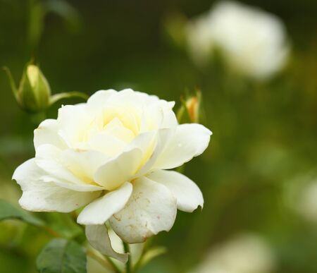 beautiful white roses in garden 写真素材