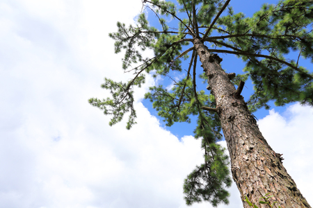 Pine branches, pine tree pine wood, evergreen pine 写真素材