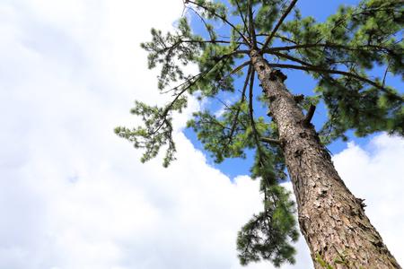 Pine branches, pine tree pine wood, evergreen pine Imagens