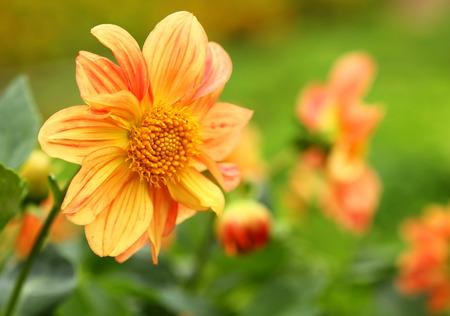 Orange chrysanthemum flower, Yellow flower, Spring flower