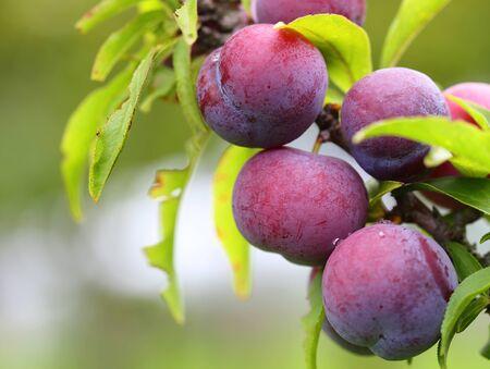 Ripe peaches fruit on tree 写真素材