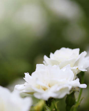white rose in the garden 写真素材