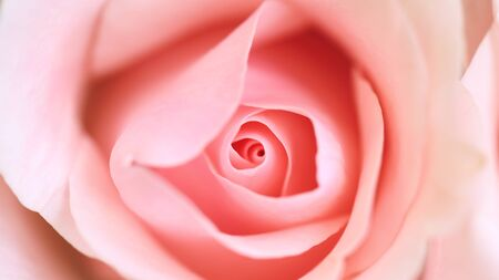 Pink roses in soft color blur style for background