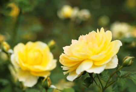 fresh yellow roses in green garden 写真素材