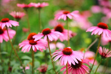Osteospermum Flower Daisy in garden 写真素材