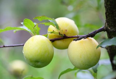 green Fresh peach tree 写真素材