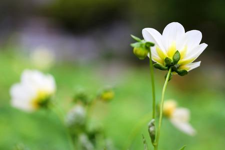 white flower in the garden with morning light 写真素材