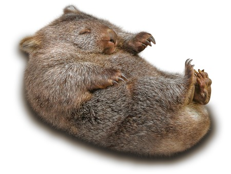 wombat: Wombat dulce y tierno en la posición marsupial. Aislado en fondo blanco.
