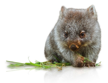 herbivore: Little wombat female 3 months. Isolated on white background. Family of Wombat, mammal, marsupial herbivore that lives in Australia and Tasmania. Stock Photo