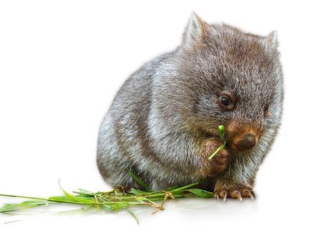 小さなウォンバット女性 3 カ月。白い背景上に分離。ウォンバット、哺乳動物、有袋類の草食動物、オーストラリアとタスマニアに住んでいる家族