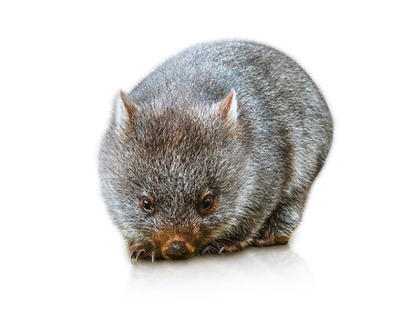 wombat: Poco femenina wombat 3 meses. Aislado en fondo blanco. Familia de Wombat, mamífero, herbívoro marsupial que vive en Australia y Tasmania.