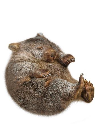 wombat: Poco wombat australiano dulce y tierno en la posición marsupial. Aislado en fondo blanco.