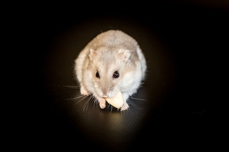 dwarf hamster: Small Siberian Djungarian dwarf winter white hamster on black background in spotlight.
