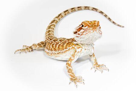 bearded dragon lizard: Pogona or Central Inland Bearded Dragon Lizard on a white background.