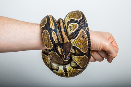 Closeup of a royal or ball python coiled around the arm of a person with a studio background.  Concept of strong punch, power, snake bracelet, brute force.