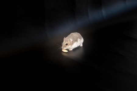 dwarf hamster: Djungarian or Siberian dwarf winter white hamster on black background in spotlight about to eat a nut. Stock Photo