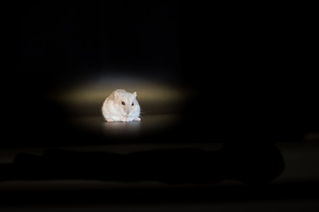 russian hamster: Winter white Siberian hamster sapphire variety on black background. Stock Photo