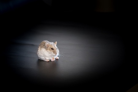 dwarf hamster: Djungarian or Siberian dwarf winter white hamster on black background in spotlight.