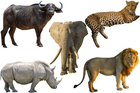 African Big Five animals Buffalo Elephant Leopard White Rhino and Lion isolated on pure white background Stock Photo