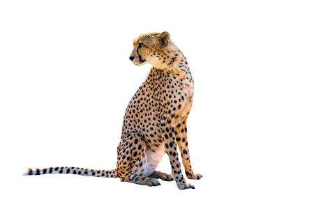 guepardo: Cheetah sentado vista lateral, sobre fondo blanco, aislado. Foto de archivo
