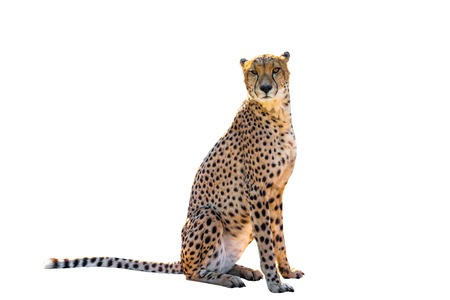 Power cheetah sitting front view, on white background, isolated. Archivio Fotografico