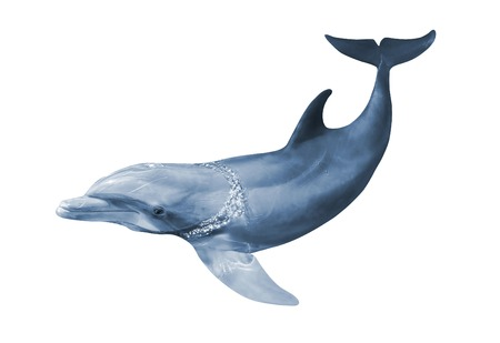Dolphin in woter with wet body, isolated on white background.