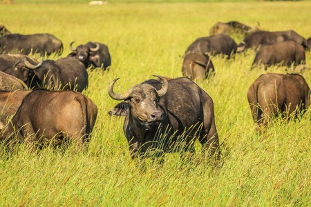 bid: Herd of African or Cape buffalo pictured in grassland of the Serengeti National Park, Tanzania, Africa. The buffalo is part of the Bid five. Stock Photo