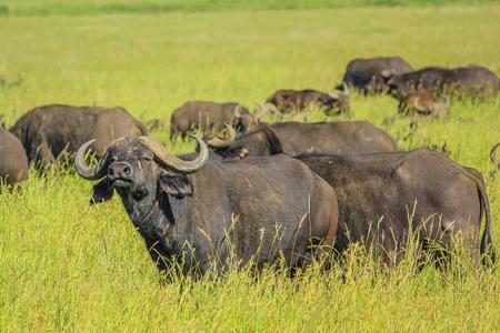 bid: Manada de b�falos africanos o del Cabo representa en pastizales del Parque Nacional del Serengeti, Tanzania, �frica. El b�falo es parte de la Oferta de cinco. Foto de archivo
