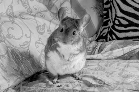 animalitos tiernos: Fotografía en blanco y negro de una chinchilla de pie en el sofá. Foto de archivo