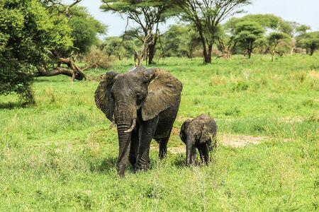animales safari: La madre y el bebé elefante en el parque nacional de Tarangire en Tanzania áfrica en un terreno de hierba verde en la naturaleza.