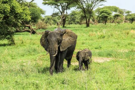 safari animals: Mother and baby elephant at Tarangire National Park in Tanzania africa on green grass ground in the wild. Stock Photo