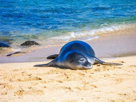 Hawaiian monk seal sleeping on the tropical beach, Kauai, Hawaii, Usa.