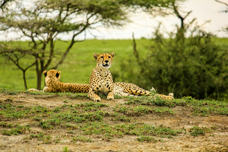 cheetahs: Young male cheetahs in Tarangire National Park, Tanzania Africa.