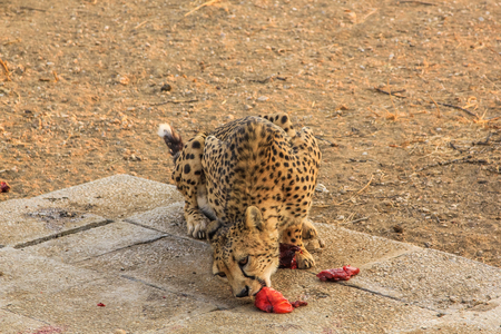 voracious: Cheetah eat voraciously during meal time, Omaruru Game Lodge in Namibia, Africa.