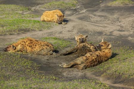 hienas: Manada de hienas en el barro. Área de Ndutu se encuentra en la parte sudoriental del ecosistema del Serengeti, Tanzania, África.