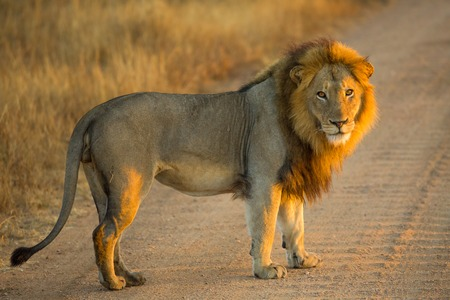 Side view of a Lion standing at sunrise, Panthera Leo, Kruger National Park, near Satara Camp, South Africa.