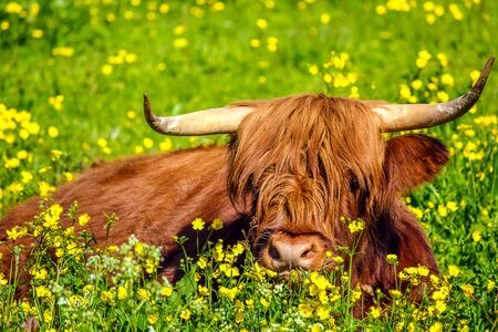 flowery: Closeup of adult specimen of a Highland Red Cow originally from Scotland Highlands, sitting in a flowery field in spring. Stock Photo