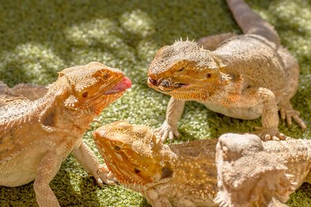 food fight: Pogona Vitticept reptiles competing for food, biting each other. Green background.