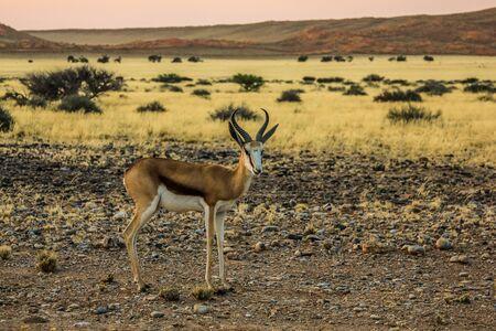 springbok: Springbok solitary at sunset in the Namib Desert, Namibia, season dry.