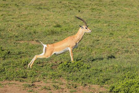springbok: A Springbok runs doing jumps in the Serengeti national park in Tanzania, Africa. Stock Photo