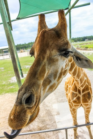 herbivore: A giraffe performing a selfie with tongue out.