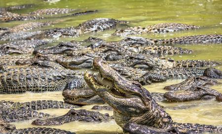 Everglades national park: Alligators competing for food in the river in Everglades National Park, Florida, Usa, America. Stock Photo