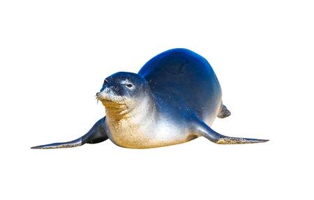 animals amphibious: Hawaiian monk seal, isolated.